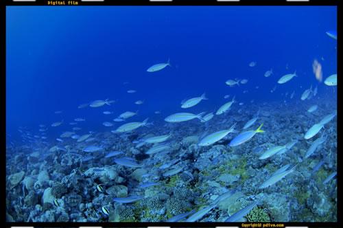 マーシャル諸島 ミリ環礁 ダイビング 2005/08/14 (2)Buruon