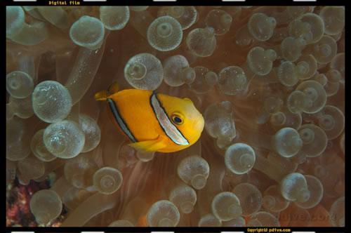 マーシャル諸島 マジュロ環礁 ダイビング 2005/08/18 (3)アネモネ