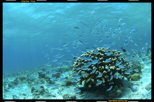 マーシャル諸島 マジュロ環礁 ダイビング 2006/08/16 (2)ぴぃ's ダイハードコーラルガーデン