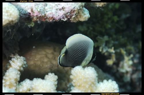 マーシャル諸島 ミリ環礁 ダイビング 2006/10/10 (1)Eneniaar(ミリユリ)