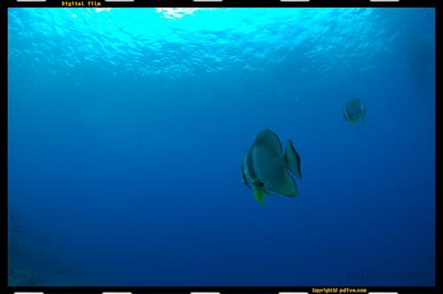 パラオ ダイビング 2007/02/11 (1)ガムリスコーラルガーデン